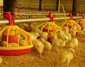 Andrea Noemi Verza explica lo principal para comenzar un criaderos de pollos. Contadora Andrea Noemi Verza